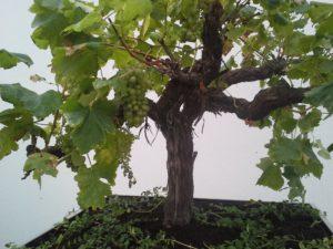 oude druif